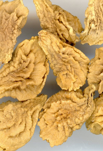 Brugmansia seed